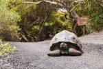 Giant Tortoise, Isla Isabella