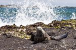 Marine Iguana by sea