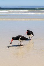 American Oystercatchers with Octopus