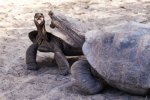 Fighting giant tortoises