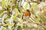 Robin, Tresco