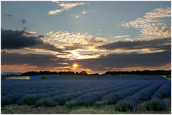 lavender at sunset