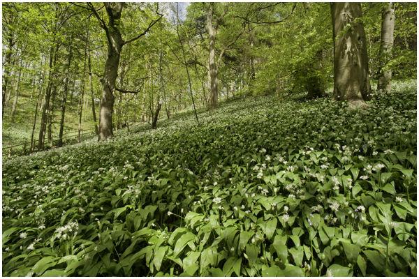 Millington wood