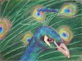 Scottish Peacock