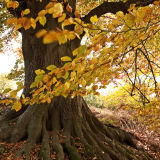 Autumn tree and roots