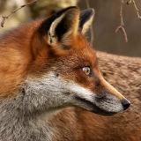 Fox in profile