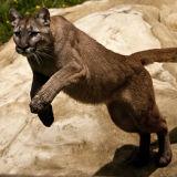 Puma pouncing
