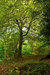 The Chiltern Beechwoods