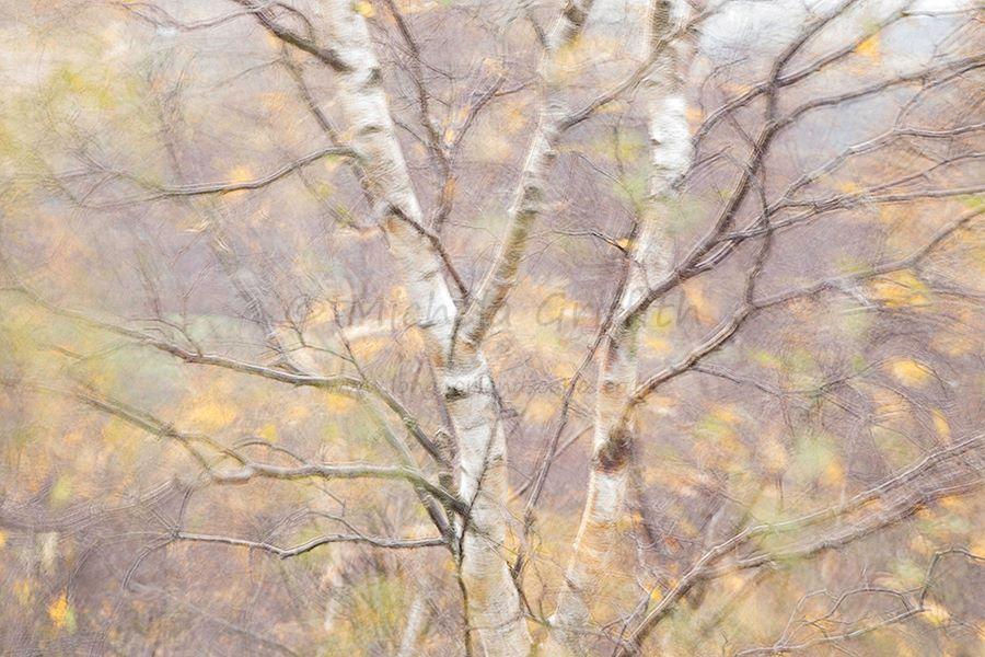 Surprise Birch