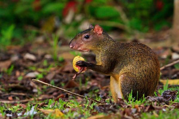Agouti commun mangeant un fruit