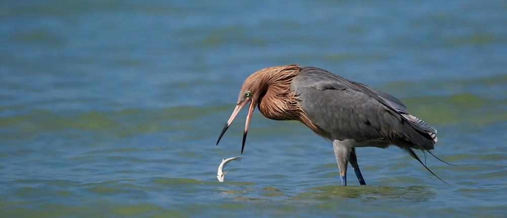 Aigrette roussâtre échappant un poisson