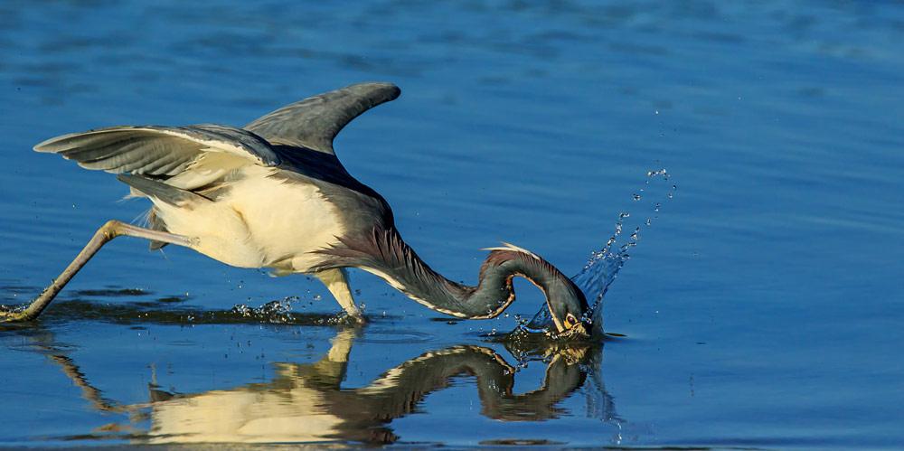 Aigrette tricolore tentant d'harponner un poisson (sans succès)