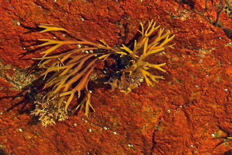 Algues jaune dans une flaque de marée