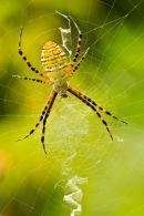 Argiope aurentia femelle orange