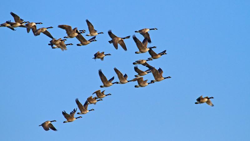 Bernaches du Canada volant en formation 2