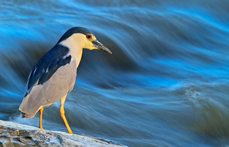 Bihoreau gris au bord de rapides bleutés