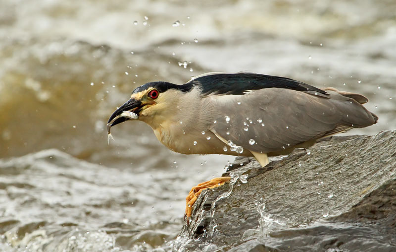 Bihoreau gris capturant un poisson dans les rapides 3