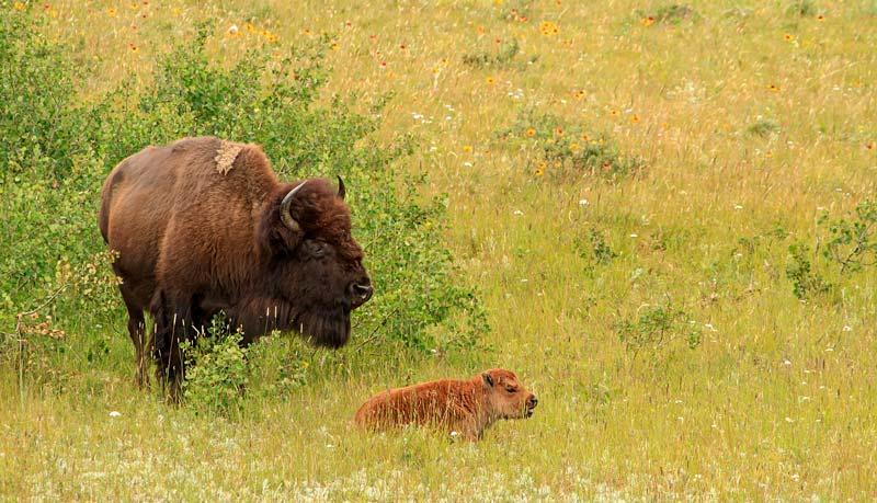 Bison et son jeune