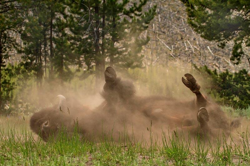 Bison prenant un bain de poussiere