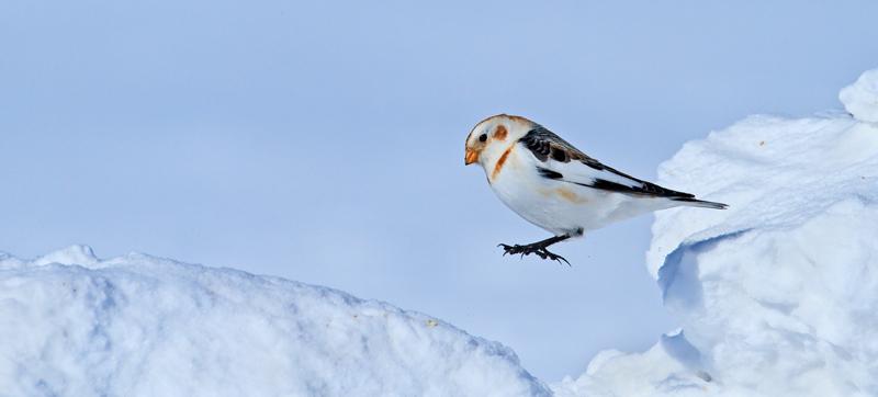 Bruant des neiges en saut