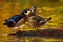 Canard branchu mâle bécotant sa femelle
