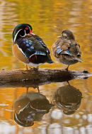 Couple de canards branchu à l'automne 2