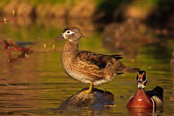 Couple de canards branchus au printemps