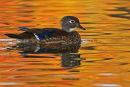 Canard branchu femelle dans des reflets d'automne