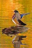 Canard branchu mâle battant des ailes à l'automne