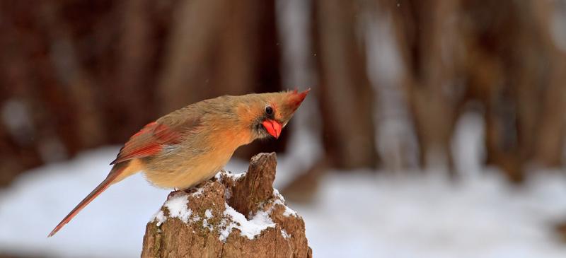 Cardinal rouge femelle sur souche en hiver
