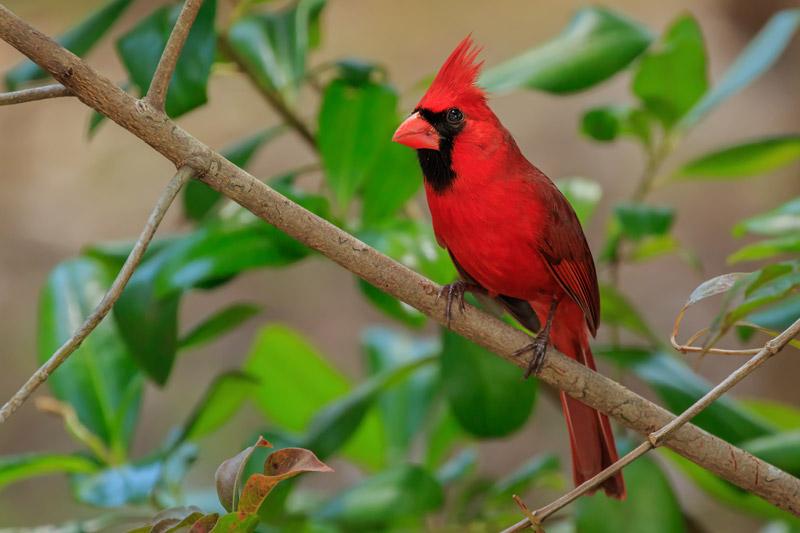 Cardinal rouge mâle sur une branche