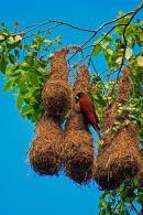 Cassique de Montezuma sur son nid