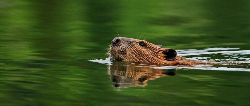 Castor patrouillant son étang