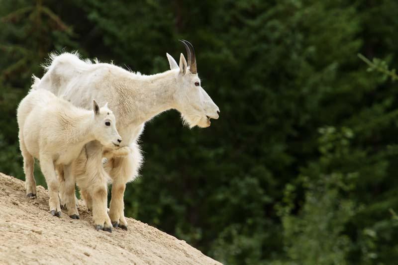 Chèvre de montage avec son jeune