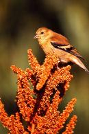 Chardonneret en plumage d'automne