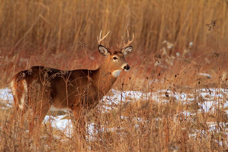 Cerf de Virginie mâle en hiver 2