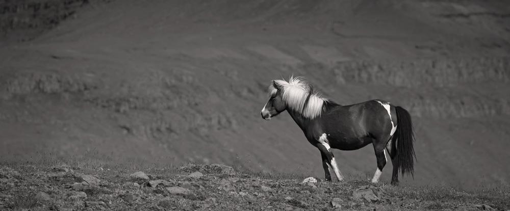 Cheval islandais - noir et blanc