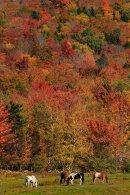 Chevaux broutant à l'automne