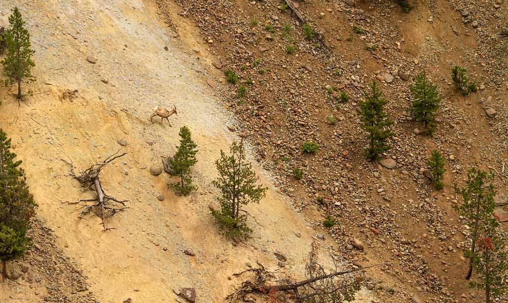Mouflon femelle et son jeune