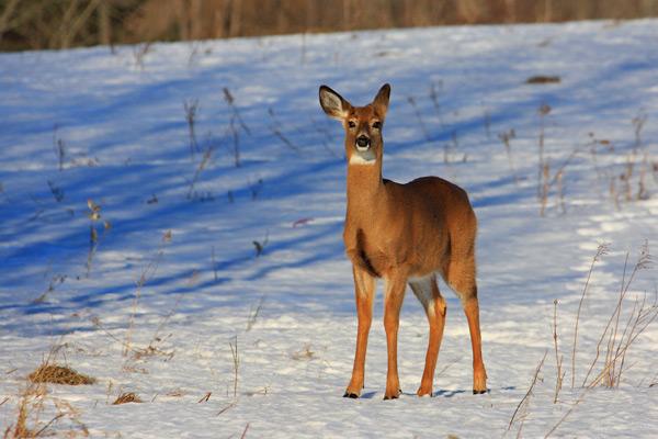 Cerf de Virginie de face en hiver