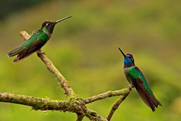 Deux colibris de Rivoli mâles