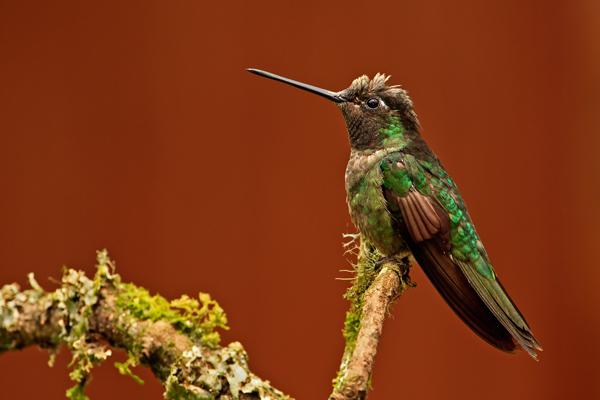Colibri de Rivoli mâle sur fonds brun