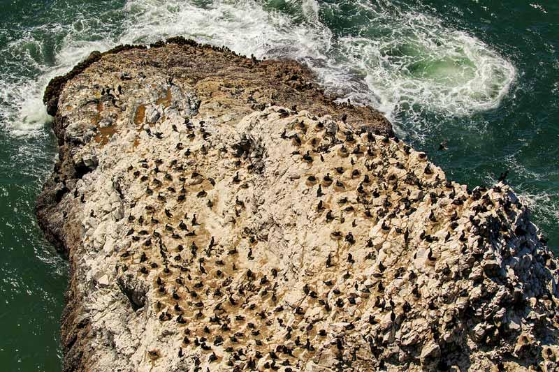 Colonie de cormorans et de guillemots de Troïl