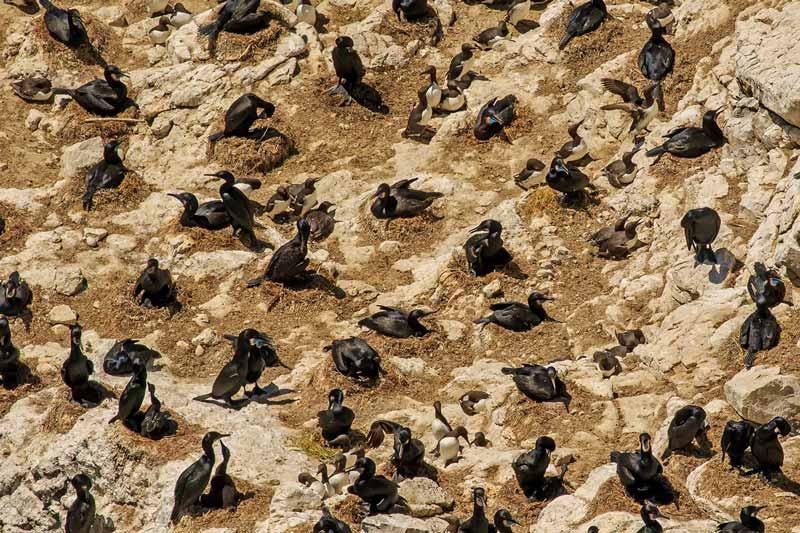 Colonie de cormorans et de guillemots de Troïl - Détail
