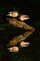 Canards colvert mâles en réflection