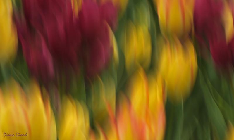 Soubresauts de tulipes