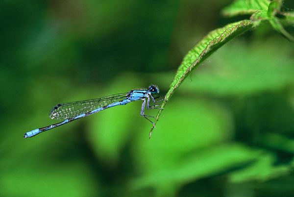 Demoiselle bleue