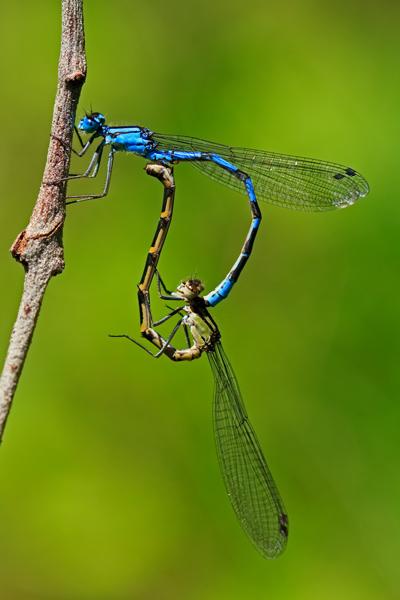 Demoiselle bleue en accouplement 1