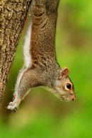 Écureuil gris suspendu