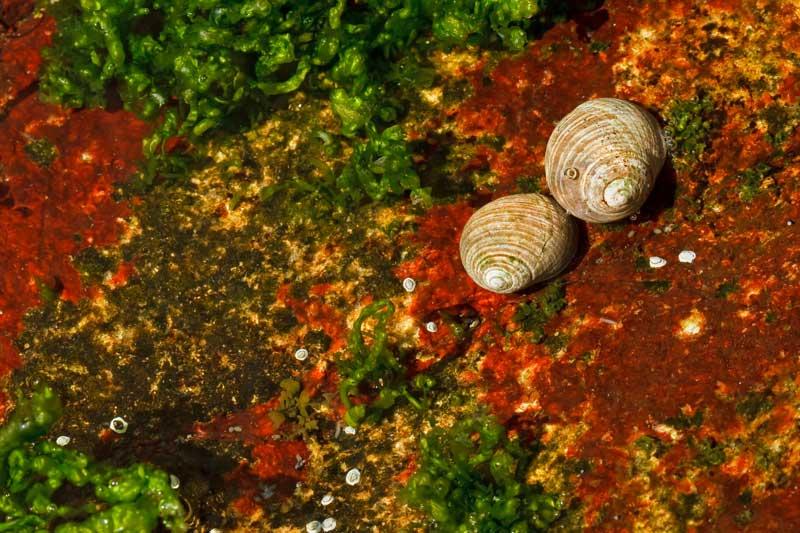 Escargots de mer dans une flaque de marée